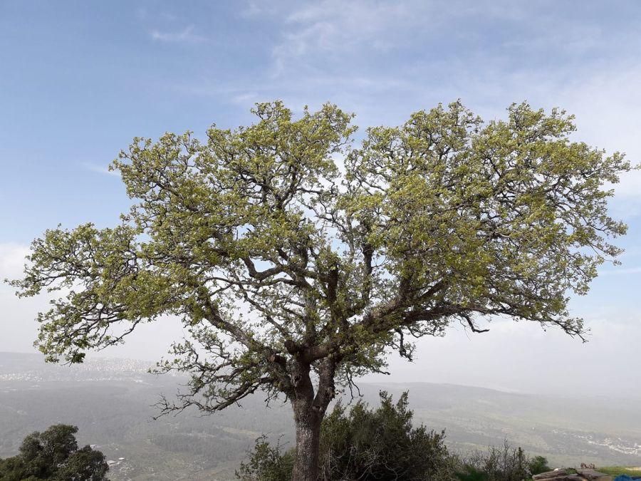 Tree at Mount Tabor (prot. Alexander)