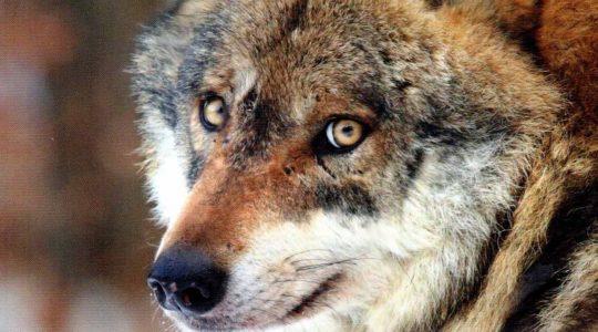 Vient de paraître : « Le loup et son mystère. Histoire d'une fascination »